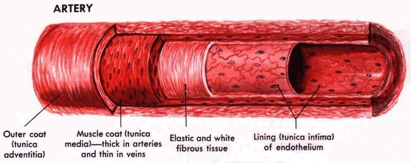 Artery Vs. Vein: What Are The Differences?