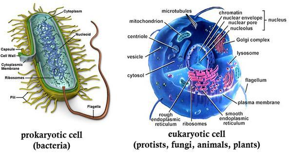 Prokaryotic Cells Vs  Eukaryotic Cells