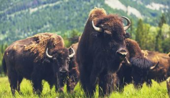 Bison vs buffalo