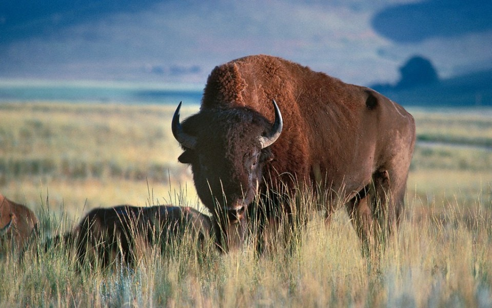 5 Differences Between Bison And Buffalo Comparison Table