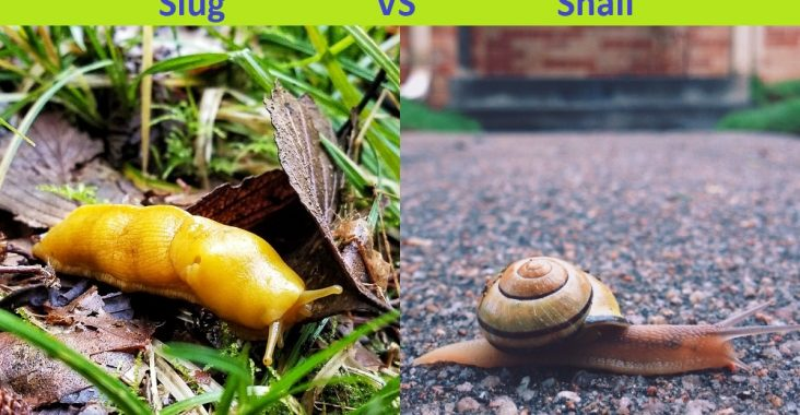 Difference Between Slug and Snail