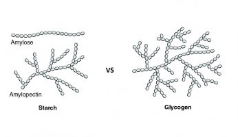 Difference Between Glycogen and Starch