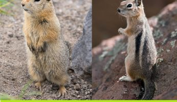 difference between ground squirrel and chipmunk