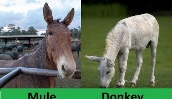 difference between mule and donkey