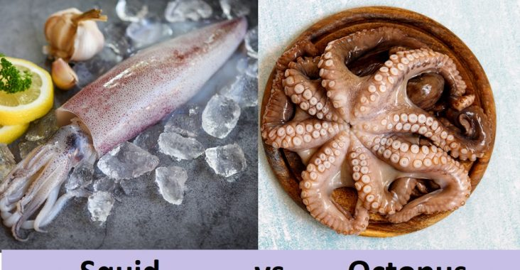 difference between squid and octopus